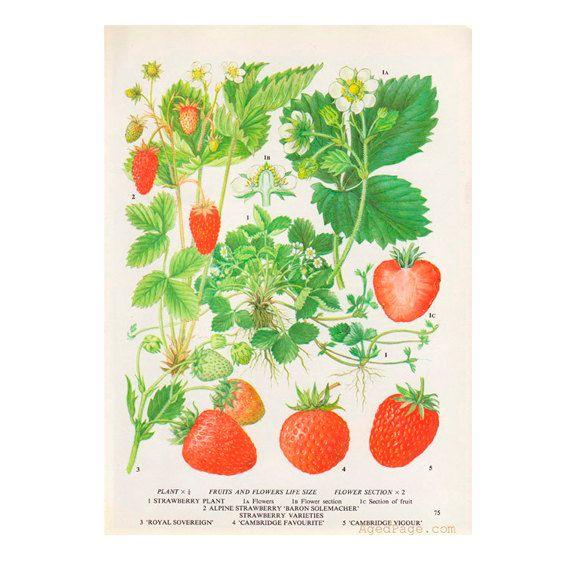 Strawberry kitchen decor fruit print botanical - Kitchen curtains with fruit design ...