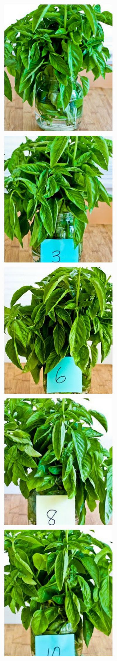 How To Preserve Fresh Basil From Kalynskitchen This Trick Will Keep Good