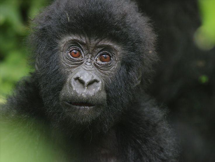 Детский взгляд на жизнь. Этому гориллёнышу всего несколько месяцев от роду. Возможно это первые белые, которых он видит.  Горные гориллы - одни из самых редкий приматов, по разным оценкам их осталось от 700 до 900 особей в горных тропических лесах Вирунга, на территории Уганды, Руанды и Заира. #Gorilla beringei #Mountain Gorilla #Горные гориллы #Дикая природа #Дикие животные #Фотоохота Author: Сергей Волков