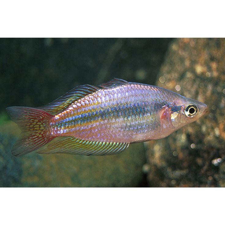 $5  RAINBOW AUSTRALIAN REGULAR  Melanotaenia splendida australis is a beautiful, but fairly common, rainbowfish.