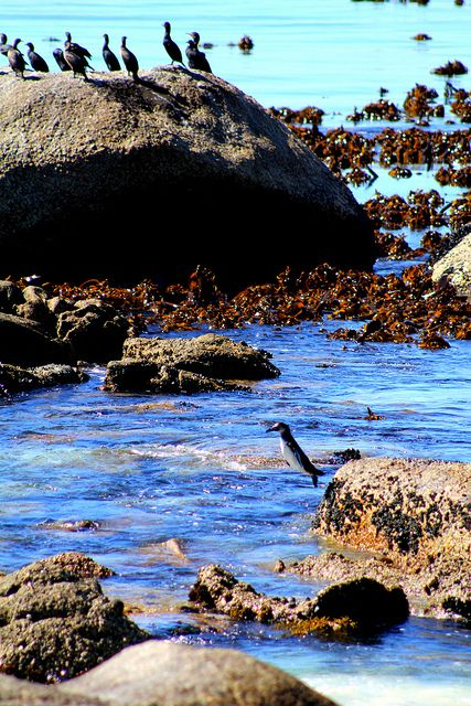 www.sunsafaris.com #CapeTown SouthAfrica #bouldersbeach #penguins #marinelife #animals #ocean