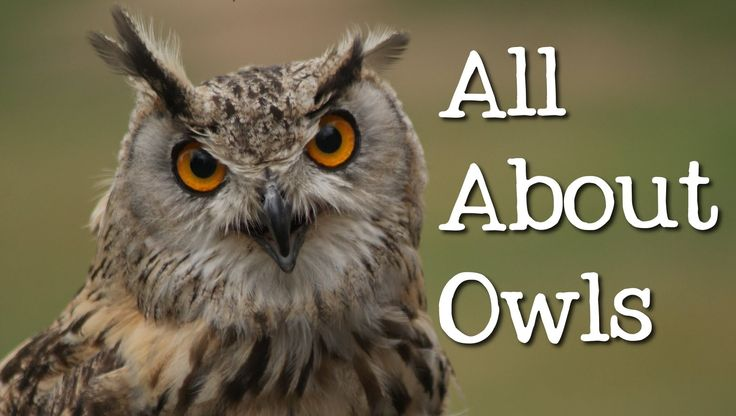 All About Owls: Backyard Bird Series - FreeSchool