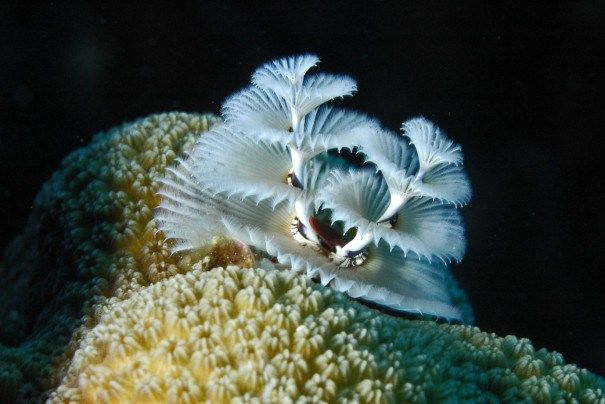 Christmas tree worm with delightful beauty