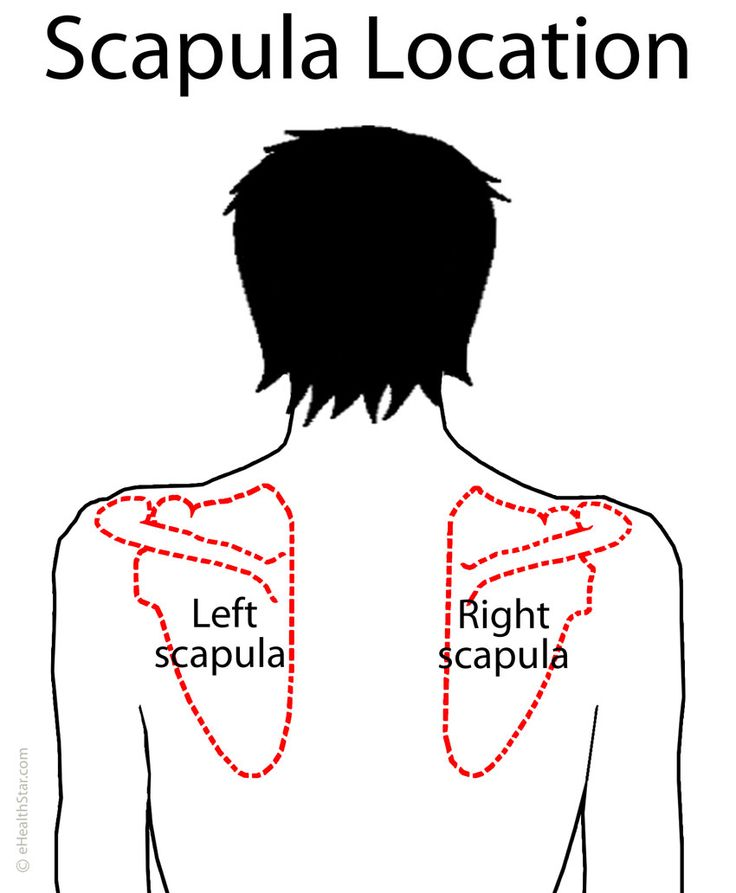 scapula  shoulder blade  anatomy  location  parts