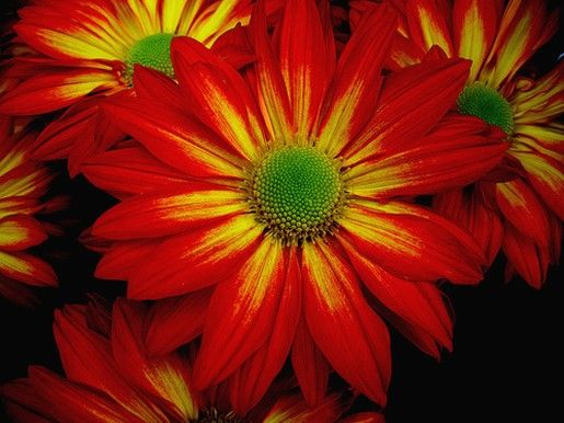 red daisy flower photos | yellow red daisy with green eye.jpg
