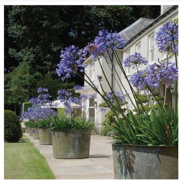 Lots of pots of Agapanthus make an impressive focal point.