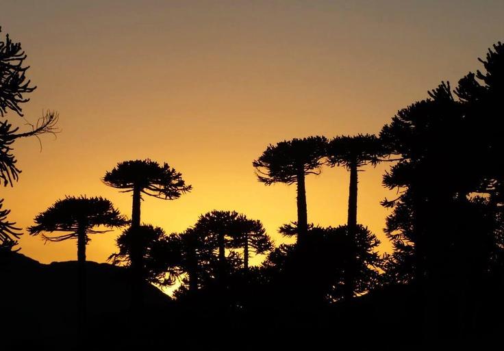 77.Araucarias al amanecer - Araucarias at sunrise (category Nature Naturaleza)  Contestant - Concursante: Itamar Chávez    Descripción - Description: Esta foto fue tomada en Nevados de Sollipulli alrededor de las 7 horas. Las sombras de años de sabiduría, la majestuosidad de un bosque de araucarias. / This photo was taken in Nevados de Sollipulli around 7 am. The shadows of years of wisdom, and the majesty of a forest of araucarias. http://en.wikipedia.org/wiki/Araucaria_araucana