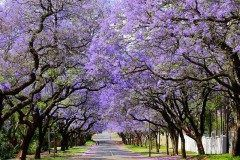南アフリカ共和国の首都プレトリアではこれからジャカランダの花が見頃になるんだって 約7万本のジャカランダが咲きほこる毎年10月ごろは街全体が紫色に覆われてパープルシティやジャカランダシティと呼ばれるんだそうですよ 行って見たいなぁ(3) tags[海外]