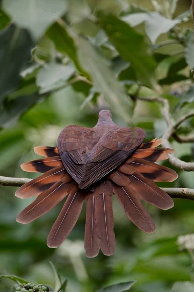 Wow! How cool is this bird?! It looks like a type of dove.