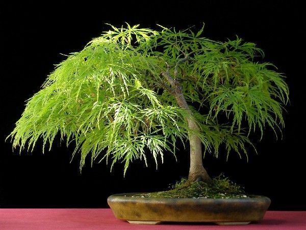 """Bonsai """"Acer Palmatum Dissectum"""": More than other maples, dissectum absolutely hates windy and too sunny conditions. Placement of this tree must be shady and out of the wind. This is one of the reasons why there are not many good """"Dissectum-bonsai"""" around. Cut-leaf Japanese maple bonsai is however worth trying.  Style: slanting or Shakkan style."""