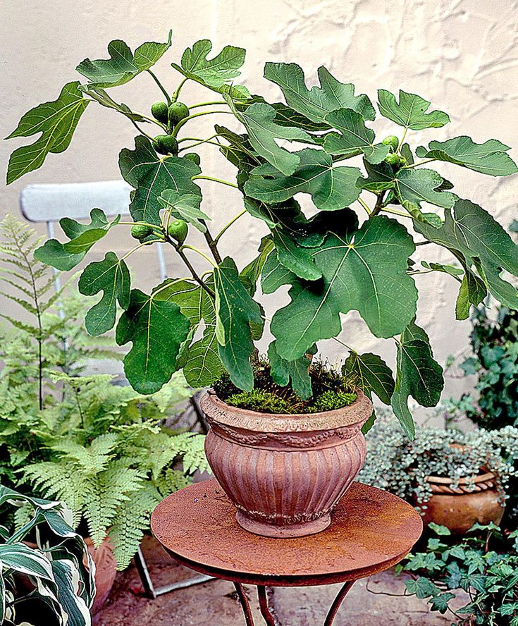How to grow Fig trees in pot  – Gardening