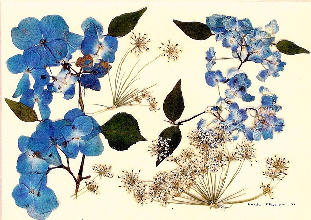Pressed flower print of Hydrangeas    Hydrangeas and Queen Anne's Lace pressed into a watercolour-like print.    Virginia's Pressed For Time