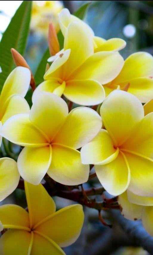 Fleurs de Monoï ^^