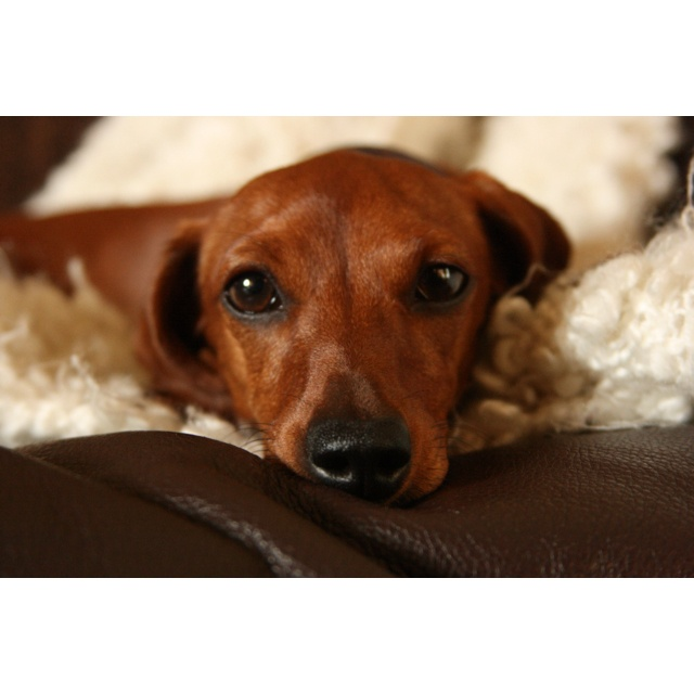 best 25 red dachshund ideas on pinterest wiener dogs