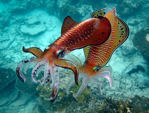 #cuttlefish mating | foto: ignacio palacios