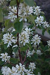 Smokey Saskatoon (Amelanchier alnifolia 'Smokey') at Eagle Lake Nurseries