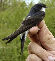 Common house martin - part of the swallow family Wikipedia, the free encyclopedia