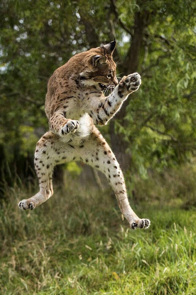 Eurasian Lynx in action....A cat dance...hey...it's got the moves like a guitarist...                                                                                                                                                                                 More