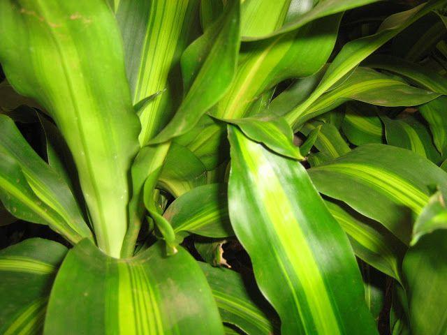 DRACENA MASSAGEANA  Meu Cantinho Verde: DRACENAS - Só Fotos