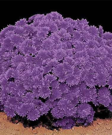Another great find on #zulily! Live Lavender Daisy Mammoth Mum Plant by Spring Hill Nursery #zulilyfinds