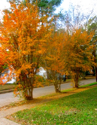 Gorgeous! I have never seen an orange crape myrtle before.