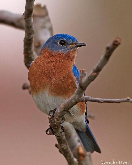 Eastern Bluebird, Male by kenskritters, via Flickr