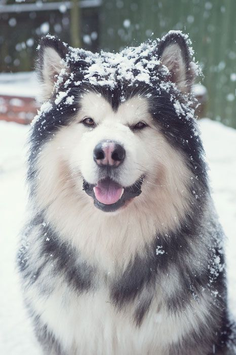 Alaskan Malamute - the dog I want when we live in Whistler