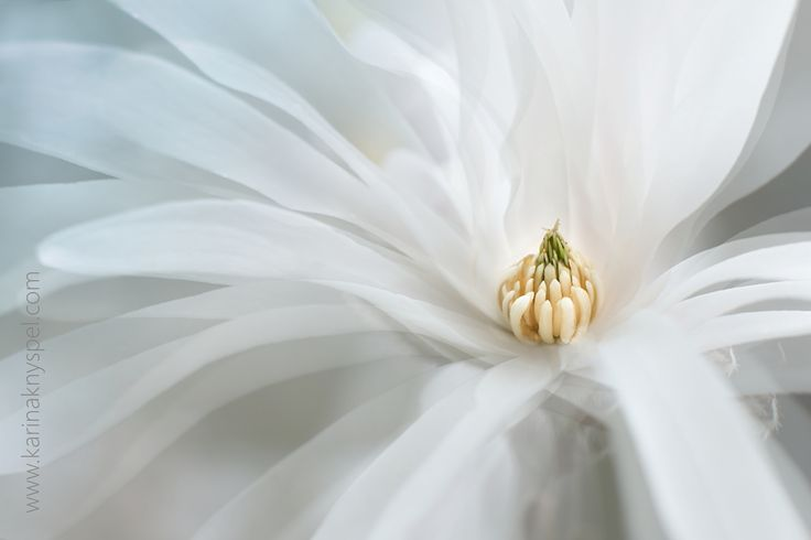 Absolutely wonderful Magnolia stellata :) - If you like my photos, like me on…