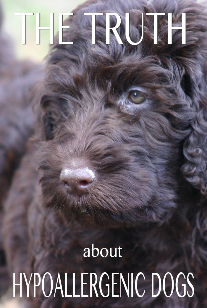 Discover the facts about hypoallergenic dog and non-shedding dog breeds