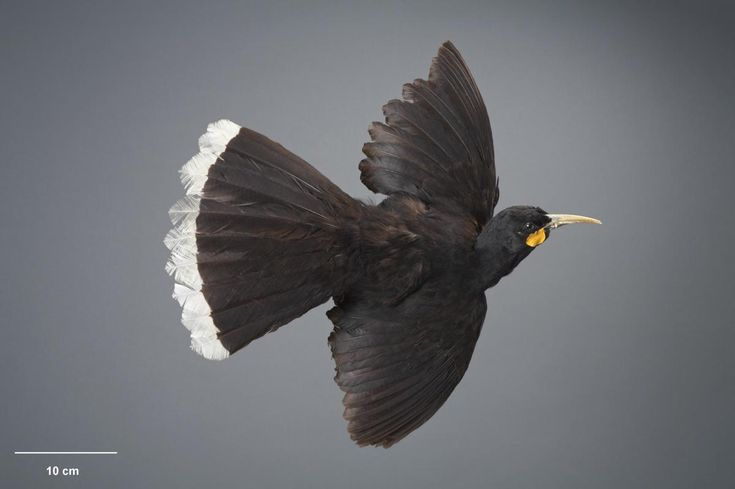 Huia. Bird mounted in flight. No collection data. Acquisition history unknown. Specimen registration no. OR.000064; image no. MA_I128441. . Image © Te Papa See Te Papa website: http://collections.tepapa.govt.nz/objectdetails.aspx?irn=533938&term=OR.000064