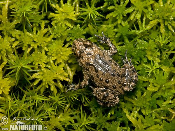 Kuňka žlutobřichá (Bombina variegata) - drobná žába, horní strana těla jí pomáhá maskovat se v  bahně. Žije v jižní části republiky.