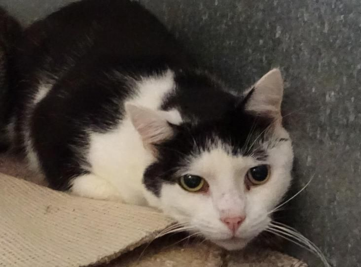 Fezzar Is A Black White Male 4 Years Old Fezzar Is Semi Ferral So Prefers To Live On A Farm Or Smallholding He Has Been Ne White Cats Animals Black And White
