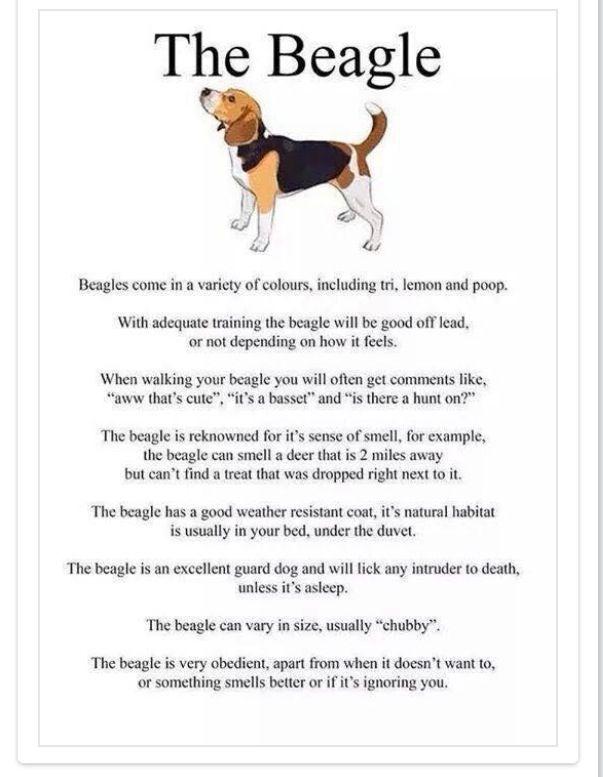 Best Beagle Chubby Adorable Dog - f29b27e33e69d1988aaf4209a24a80dd--beagles-baby  Gallery_782482  .jpg