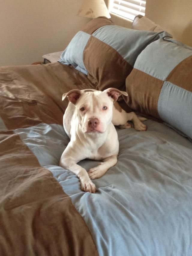 ID#1288536 Las Vegas I am a female Pit Bull Terrier.  My finder says I am over 1 year old. I have the following characteristics: White, unaltered female pitbull. Very friendly. Most white with brown markings. No micrchip or collar. Vet estimated 2-3 years old.  Someone found me on 08/14/2014. I was found at Fawn Chase Way, Ladera - S. Summerlin.