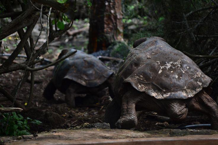 En busca de la reproducción. Tortugas gigantes de Galápagos