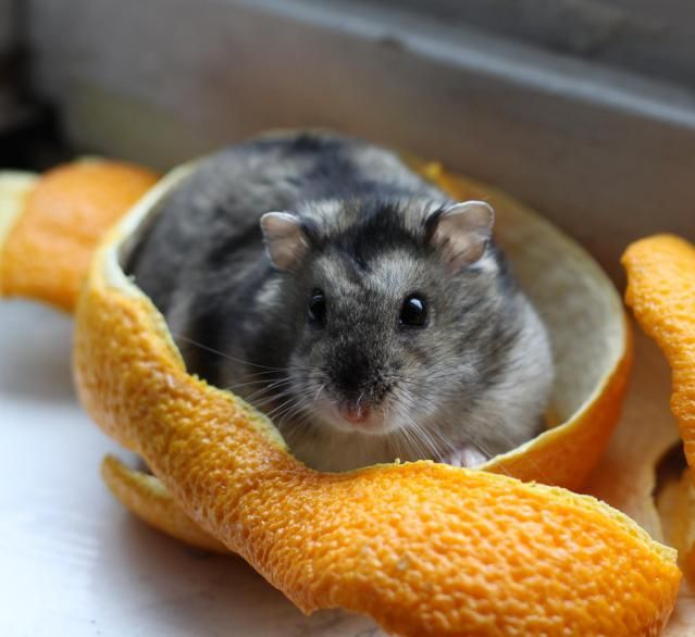 Dwarf Hamster Species - An Introduction