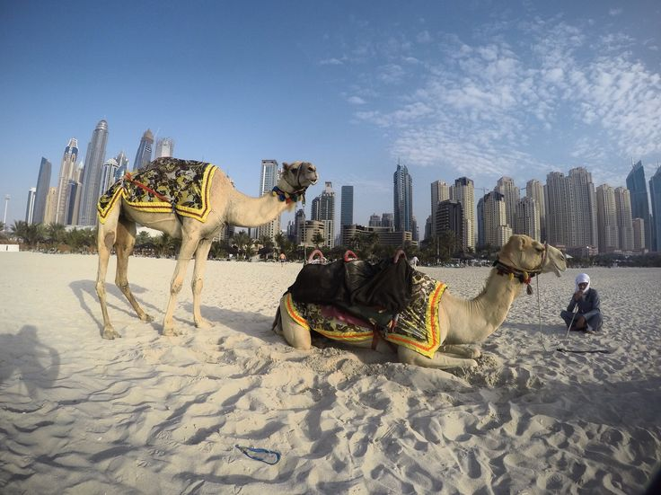 Dubai- Camels just chilling on the beach at JBR.