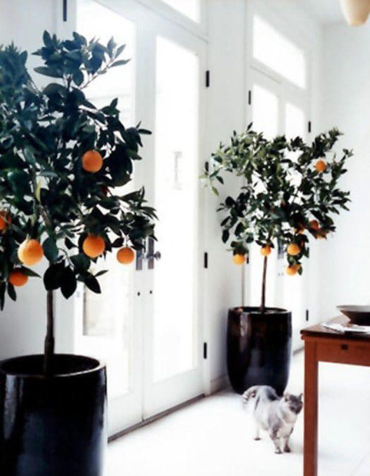 Citrus  Sim, é possível cultivar árvores de laranja, limão e outras frutas cítricas dentro de casa! Elas precisam de um cantinho com luz em abundância e, para obter os frutos, as flores precisam ser polinizadas – nada que um pouco de paciência não resolva. E sua casa sempre terá um aroma delicioso.