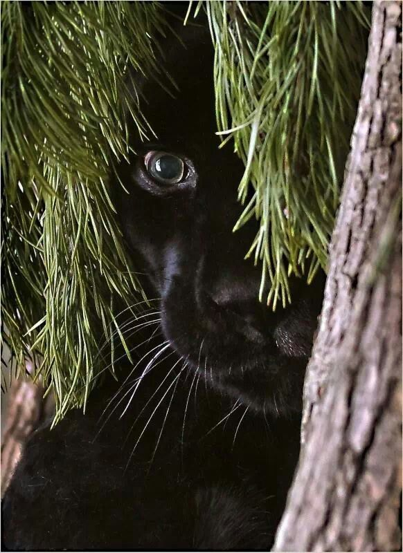 115 Best Images About Panther On Pinterest Zoos The