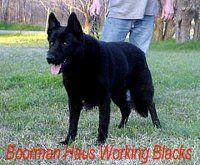 Real Working German Shepherds