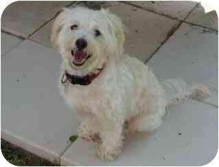 Caim Terrier / Miniature Poodle Mix puppy for adoption in