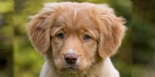 nova scotia duck tolling retriever - Google SearchDucks Toller, Retriever Puppies, Nova Scotia, Scotia Ducks, Dogs Photos, Adorable, Ducks Toll Retriever, Toller Puppies, Future Dogs