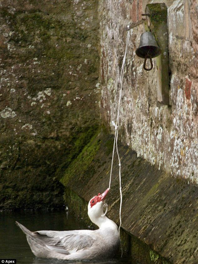 Top of the bill: One of a pair of cheeky Muscovy ducks that have swooped in and taken over the duties of bell ringing swans at Bishop's Palace, Wells, Somerset