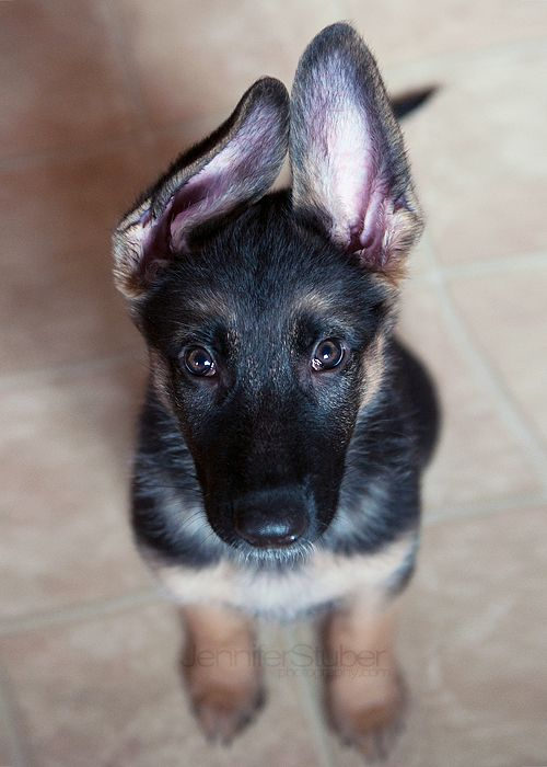 GSD - genuinely spectacular doggie