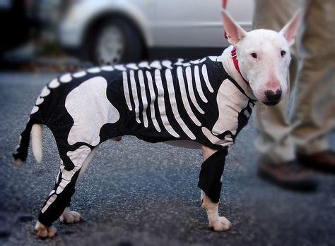 Halloween dog: Bull Terriers, Halloween Costumes, Dogs Costumes, Skeletons Costumes, Baby Dogs, Dogs Houses, Halloween Ideas, Halloween Dogs, Dogs Baby