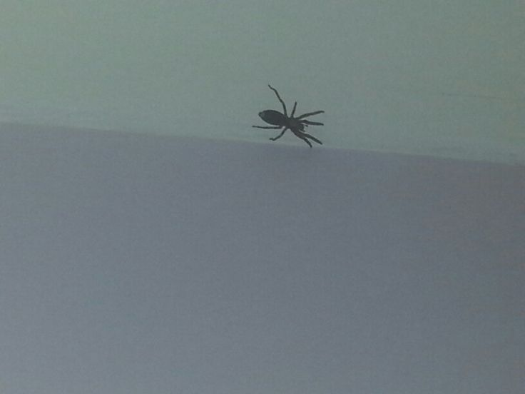The biggest white tail spider!
