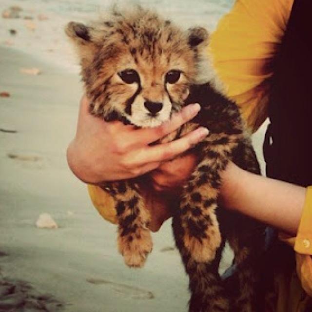 Cheetah cheetah: Babies, Animals, Cat, So Cute, Pet, Baby Animal, Adorable, Things, Baby Cheetahs