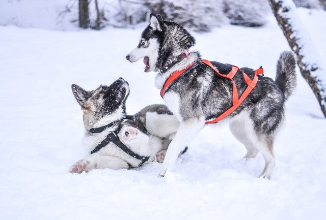 Top 5 Best Harness For Husky Great Harness For Your Husky