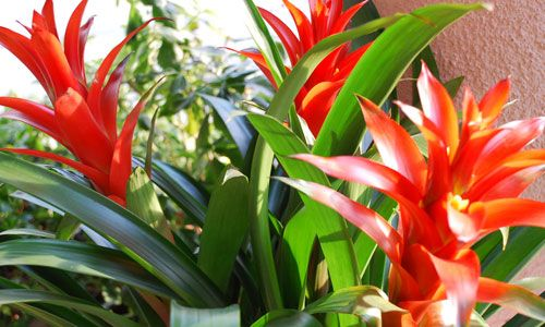 """Anche d'inverno, nel calore delle nostre case, possiamo continuare a goderci il verde grazie alle piante d'appartamento. Tra queste, molto particolari sono le bromelie tropicali, che richiedono poche cure e in cambio ci regalano un look moderno e colorato perrendere più belle le stanze in cui viviamo.E lo fanno sia con i """"fiori"""" (in realtà """"brattee"""" ovvero foglie modificate), che durano vari mesi, sia con il fogliame, dei colori più incredibili. Del resto bastano..."""