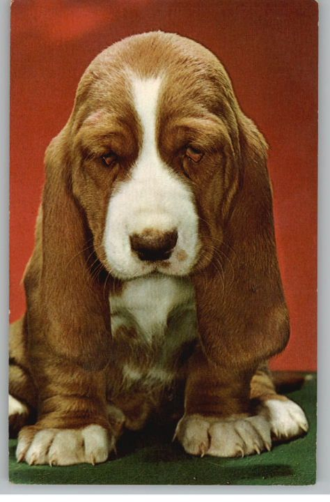 Basset Hound Puppy..there's a liter in my neighborhood..on my way home today they were outside playing w their mama..I'm trying my best not to make a spur of cuteness decision..but they're soooo cute and droopy!!!!!